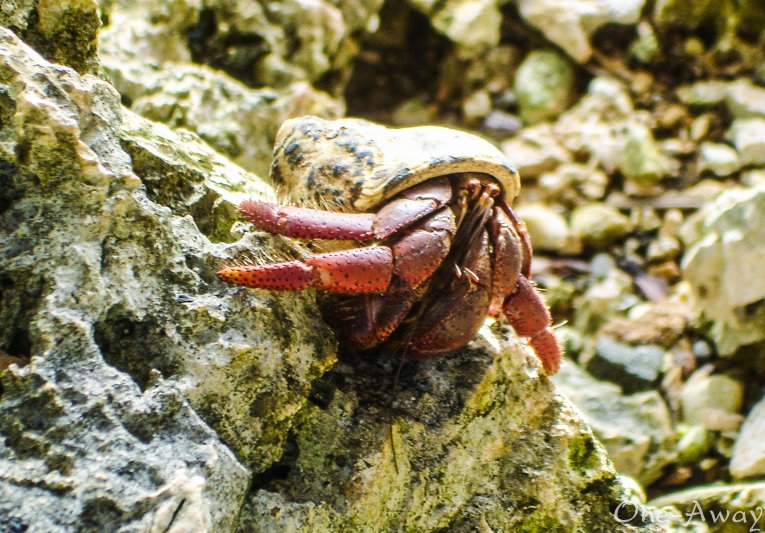 Hermit Crab on Rocks at Great Huts Boston Bay Jamaica